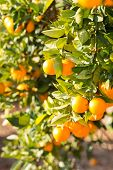 image of valencia-orange  - Trees with orange typical in the province of Valencia Spain