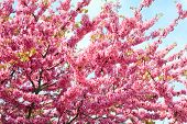 Blossoming Red Tree