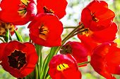 Bouquet Of Red Tulips Backlit, Close-up