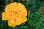picture of orange blossom  - Orange african marigold blossom with blurred background - JPG