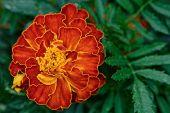 African Marigold Blossom