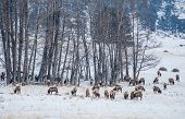 Colorado Elk Herd In Winter