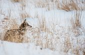 Coyote On Winter Meadow