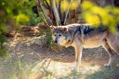 Mexican Wolf Lobo
