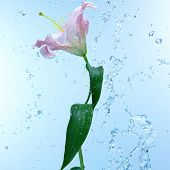 Pink day lily in cool splashing water spraying water droplets in an arc through the air on a fresh blue background