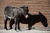 donkey and shadow Nubra valley Ladakh ,India