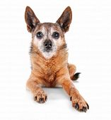a cute chihuahua isolated on a white background