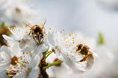 picture of tree-flower  - Bee collecting nectar from the flowers of fruit tree - JPG