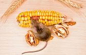 House Mouse (mus Musculus) Eating Walnut And Corn