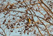 image of alder-tree  - tit winter day pecks seeds alder cones - JPG