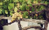 Bunch Of White Grapes In The Vineyard.
