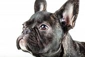 Portrait Of A Young French Bulldog