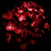 Red Flowers Bouquet In Black Background