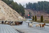 Herd Of Goats  On The Town Road