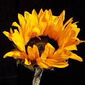 Small Decorative Garden Sunflower