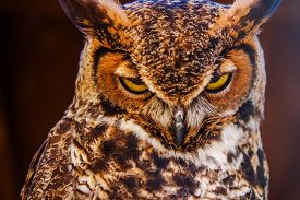 image of owl eyes  - Great Horned Owl Also Known as the Tiger Owl Closeup Photo - JPG