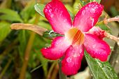 picture of azalea  - Pink azalea flowers fresh bright green droplets - JPG