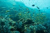 foto of shoal fish  - Underwater photography of a shoal of fish - JPG