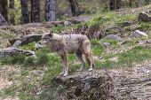 pic of coy  - A lone coyote in a rocky - JPG