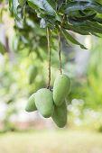 stock photo of mango  - Bunch of Green Mango hanging on Mango Tree - JPG