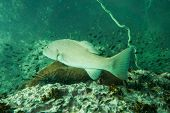 picture of grouper  - Underwater photography of a grouper swimming in ocean  - JPG
