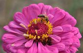 picture of zinnias  - Bee on the pink flower of zinnia - JPG