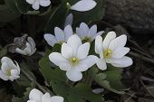 picture of wildflowers  - Group of Bloodroot Sanguinaria canadensis wildflowers - JPG