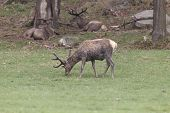 picture of jousting  - A lone male deer feeding in a field - JPG