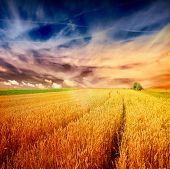 foto of nubian  - sunset over wheat field - JPG