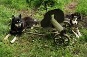 stock photo of sled-dog  - Two sled dogs lie on the grass next to a machine gun - JPG