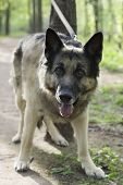 image of shepherds  - Straight looking shepherd dog in alertness guarding a territory vertical outdoor shot - JPG