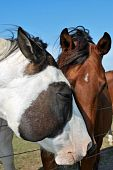 Two horses showing love pic.