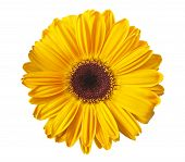 pic of gerbera daisy  - Yellow gerbera daisy isolated on a white - JPG