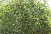 stock photo of mulberry  - mulberry fruit on tree - JPG