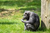 picture of eat grass  - Black old chimp eating food on green grass - JPG