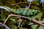 picture of chameleon  - Meller - JPG