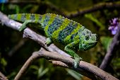 stock photo of chameleon  - Meller - JPG