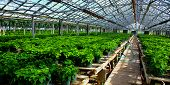 Greenhouse With Young Poinsettias