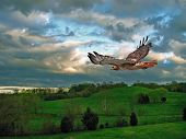 stock photo of hawk  - A Red Tailed Hawk soaring through the sky - JPG