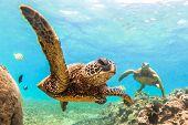 Постер, плакат: Hawaiian Green Sea Turtle