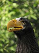 Steller's sea eagle shout