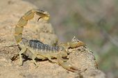 Постер, плакат: Common yellow scorpion Buthus occitanus in defensive posture in Azerbaijan