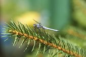 Dragonfly Sitting On A Spruce Tree