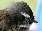 image of fantail  - a closeup of the head of the new zealand fantail rhipidura fulginosa also known as piwakawaka - JPG