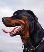 Profil Of Rottweiler