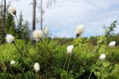 Hare's-tail Cottongrass, Eriophorum Vaginatum