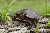 Painted Turtle (Chrysemys picta)