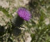 Bull thistle flower head