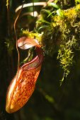 image of nepenthes  - Red Nepenthes plant in asia hanging down - JPG