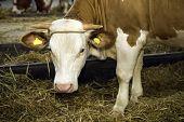 Cows At Livestock Exhibition